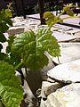 Marsanne leaf 4.jpg