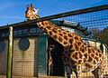 Marwell Giraffe Nov2015.jpg