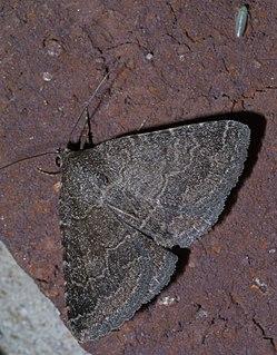 <i>Matigramma pulverilinea</i> species of insect