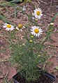 Matricaria chamomilla plant (02).jpg