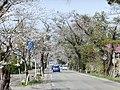 Matsusaka cherry blossom trees along the Route 105.jpg