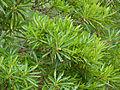 Matumi (Breonadia salicina) (14031506134).jpg