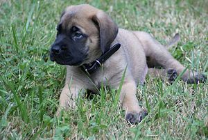 Max English Mastiff Puppy.jpg
