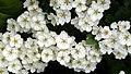 May Blossom. Crataegus monogyna - Flickr - gailhampshire.jpg