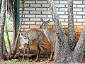Mazama gouazoubira - Jardim Zoológico de Brasília - DSC09870.JPG