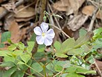 Meadow Flax 12-00-46 (41932160750).jpg
