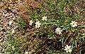 Melampodium leucanthum kz9.jpg