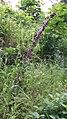 Melica altissima sl4.jpg
