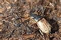 Melinopterus.consputus.jpg