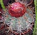 Melocactus amazonicus.jpg