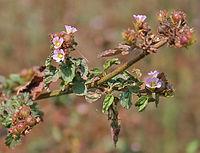 Melochia corchorifolia (Lahan Methuri) in Hyderabad, AP W IMG 1426