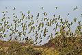 Melopsittacus undulatus flock 1.jpg