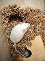 Meriones unguiculatus - albinos male & double nest.jpg