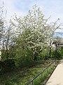 Merisier de la coulée verte de Colombes - fleurs.jpg