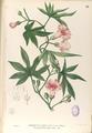 Merremia tuberosa Blanco1.81-original.png