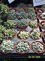 Mesembryanthemaceae family (3425008460).jpg