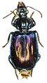Metallanchista perlaeta - ZooKeys-284-001-g002-09.jpeg