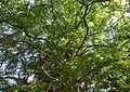 Metasequoia glyptostroboides 4.jpg