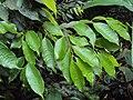 Meteoromyrtus wynaadensis 38.JPG