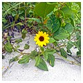Miami Beach - South Beach Sand Dune Flora - Helianthus debilis Dune Sunflower (31).jpg