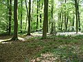 Micheldever Woods - Bluebells - geograph.org.uk - 1672122.jpg