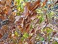 Micklethwaitia carvalhoi - leaves (9435964264).jpg
