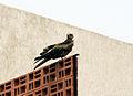 Milvus migrans Bangalore 1.jpg