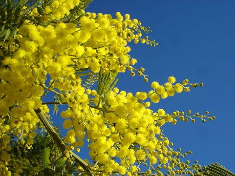 ST-Valentin 481px-Mimosa2007