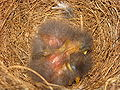 Mimus polyglottos two days old 04.jpg