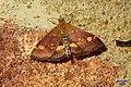 Mint moth (BG) (31659707476).jpg