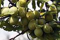 Mirabelles à Hattonchatel (lorraine) Cl J Weber04 (23566761402).jpg