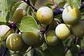 Mirabelles à Hattonchatel (lorraine) Cl J Weber06 (23307357279).jpg