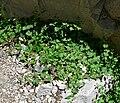 Mirabilis oxybaphoides 1.jpg