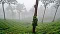 Mist covered Tea Gardens in Munnar.jpg