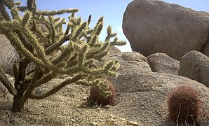 Mojave Cholla.jpg