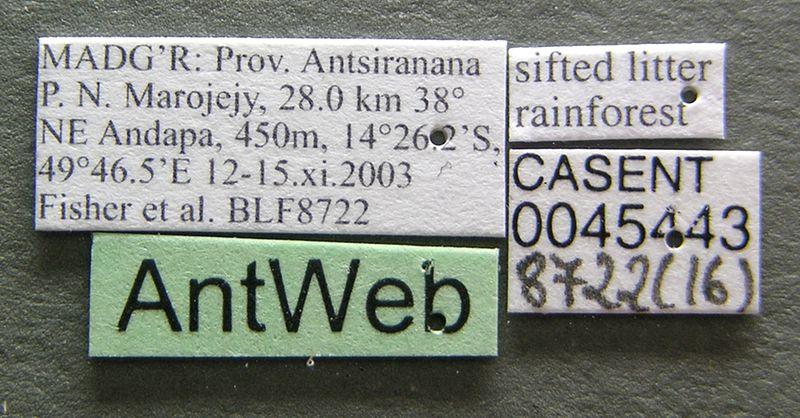File:Monomorium hanneli casent0045443 label 1.jpg