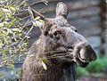 Moose (15191952598).jpg