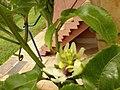 Moradia passiflora.jpg