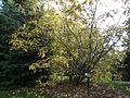 Morris Arboretum Chionanthus virginicus.JPG