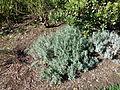 Morris Arboretum Lavandula angustifolia.JPG