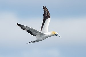 Australasian gannet - Image: Morus serrator Derwent River Estuary