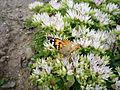 Motýl z Humpolecka.JPG