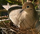 Mother hen nesting on February 24, 2007.jpg