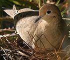 Mother hen nesting on February 24, 2007