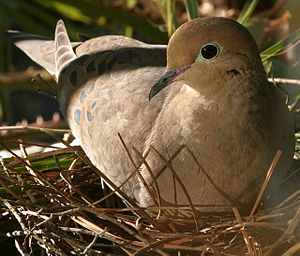 A female Mourning Dove incubating her eggs on ...