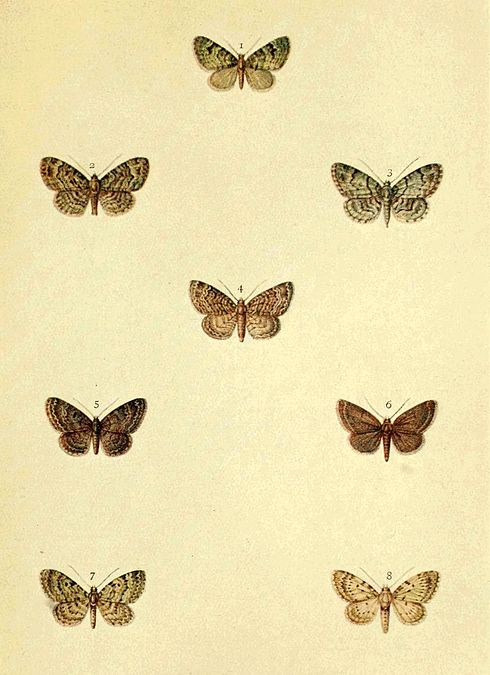 Moths of the British Isles Series2 Plate100.jpg