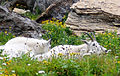 Mountain Goats by chelsipeters.jpg