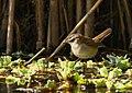 Moustached Warbler (Acrocephalus melanopogon) (32382232854).jpg