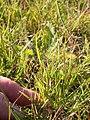 Muhlenbergia asperifolia (3919665488).jpg