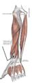 Musculusextensorpollicislongus.png